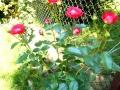 roza amarantowa